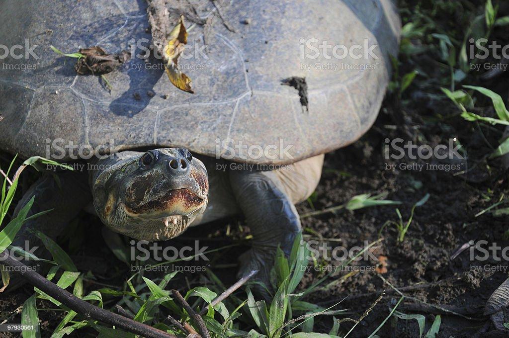 Arrau - Amazonian River Turtle royalty-free stock photo