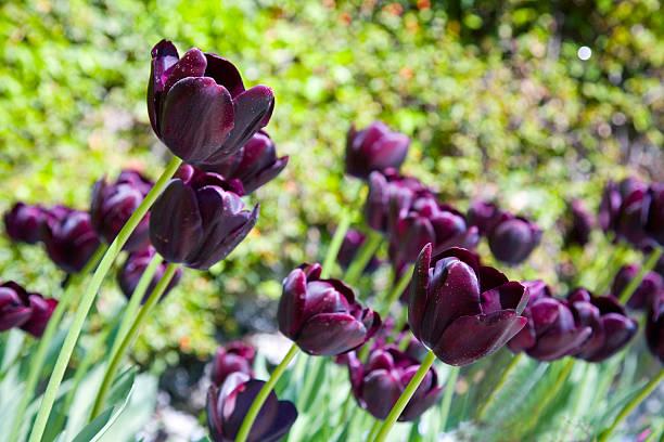 Array of Deep Purple (tulips, flowers) stock photo