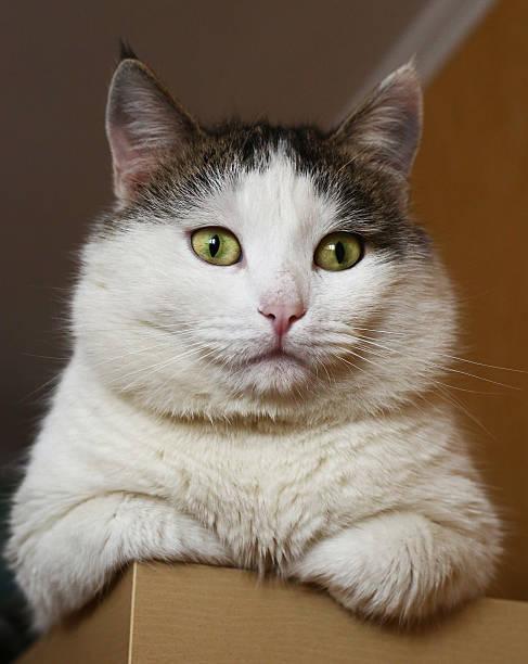 arrogant suchen sibirischer fett katze sich im schrank - katzenschrank stock-fotos und bilder