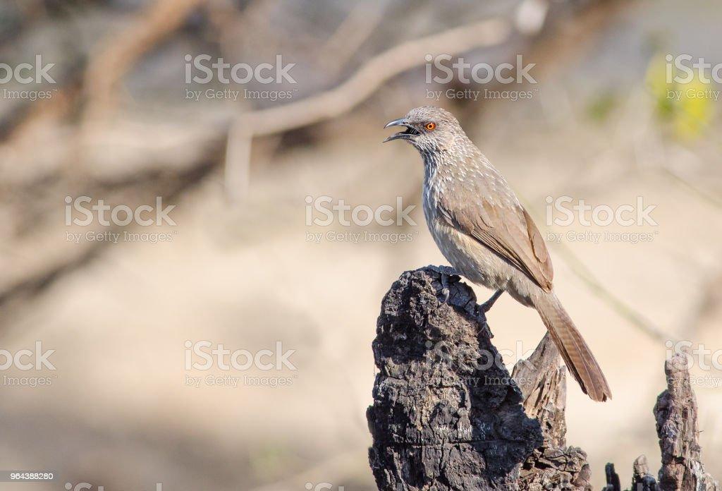 Seta marcada Zaragateiro em tronco de árvore - Foto de stock de Ave canora royalty-free