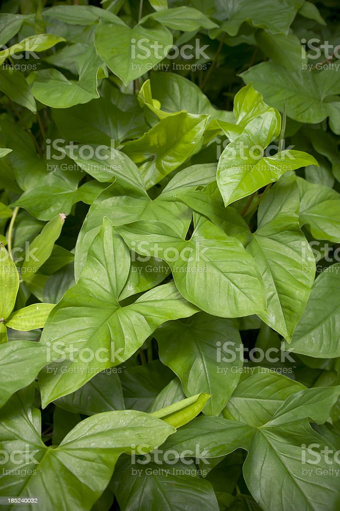 Arrowhead Plant stock photo