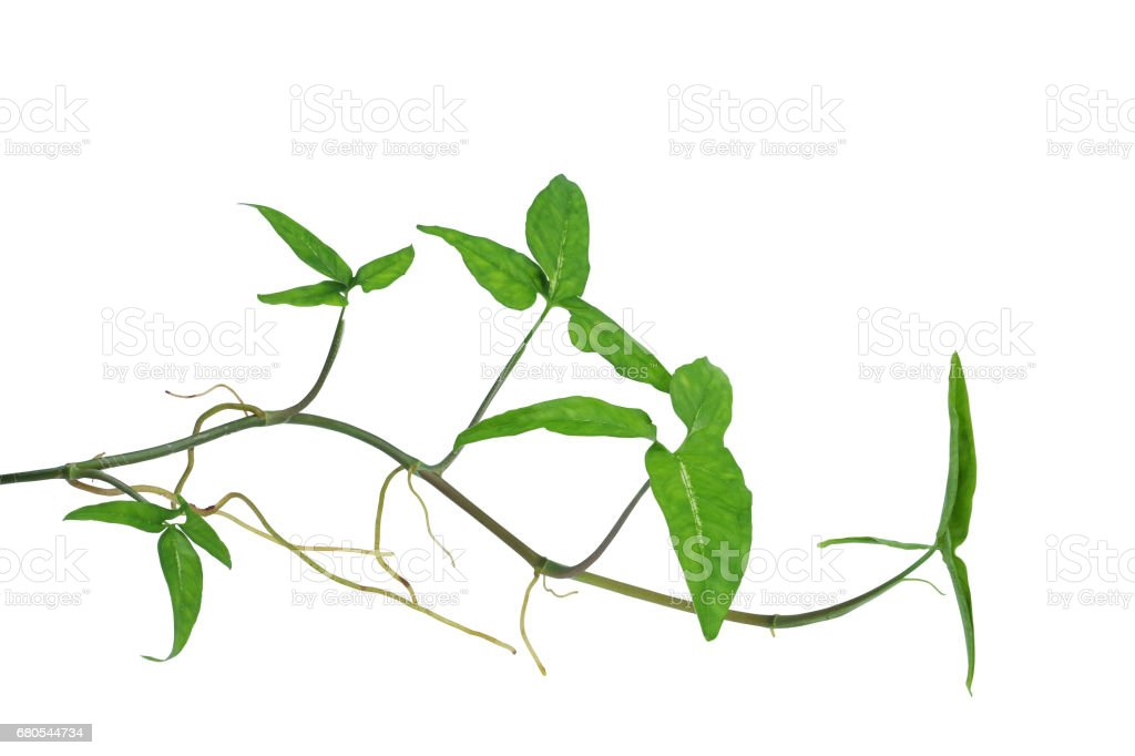 Arrowhead vine (Syngonium podophyllum) or American evergreen isolated on white background, clipping path included. stock photo