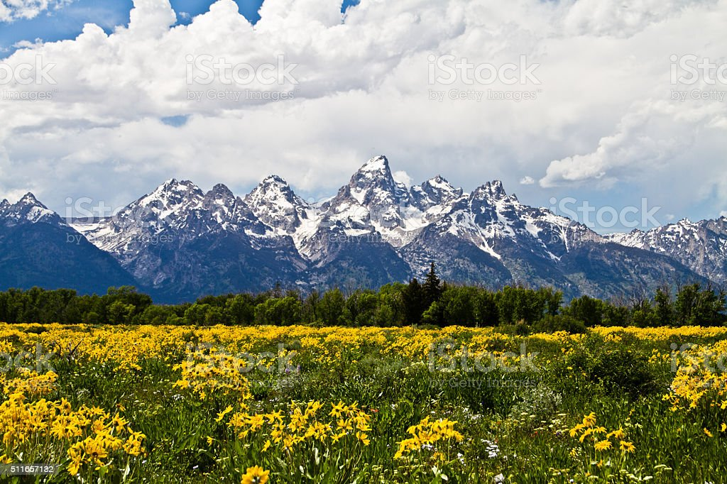 Arrowleaf and Tetons stock photo