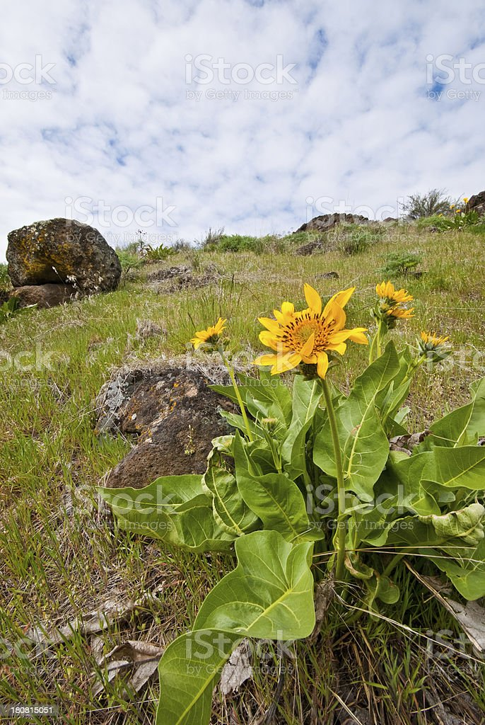 Arrowleaf Balsamroot Blooming in Cowiche Canyon royalty-free stock photo