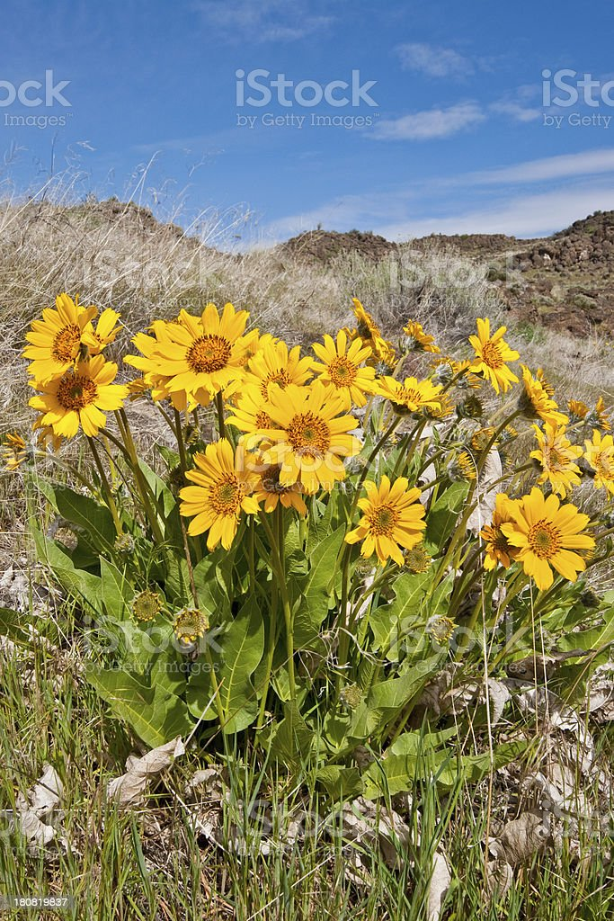 Arrowleaf Balsamroot Close-Up stock photo
