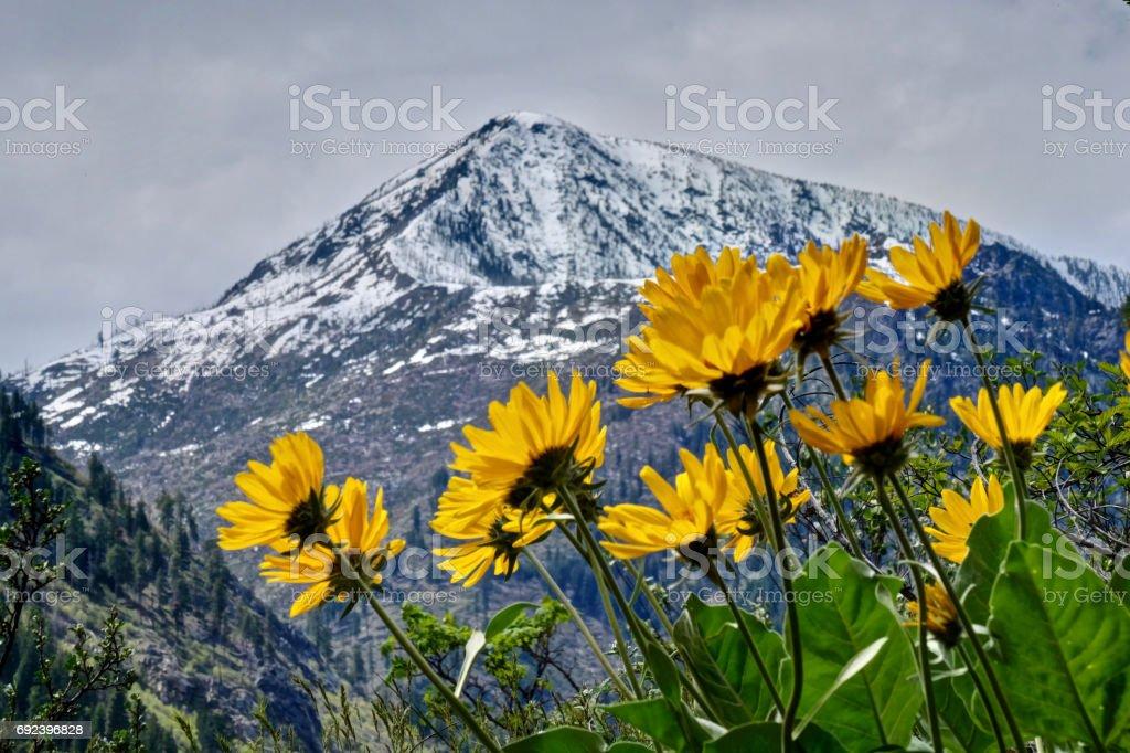 Arrowleaf Balsamwurzel in Cascade Mountains. – Foto