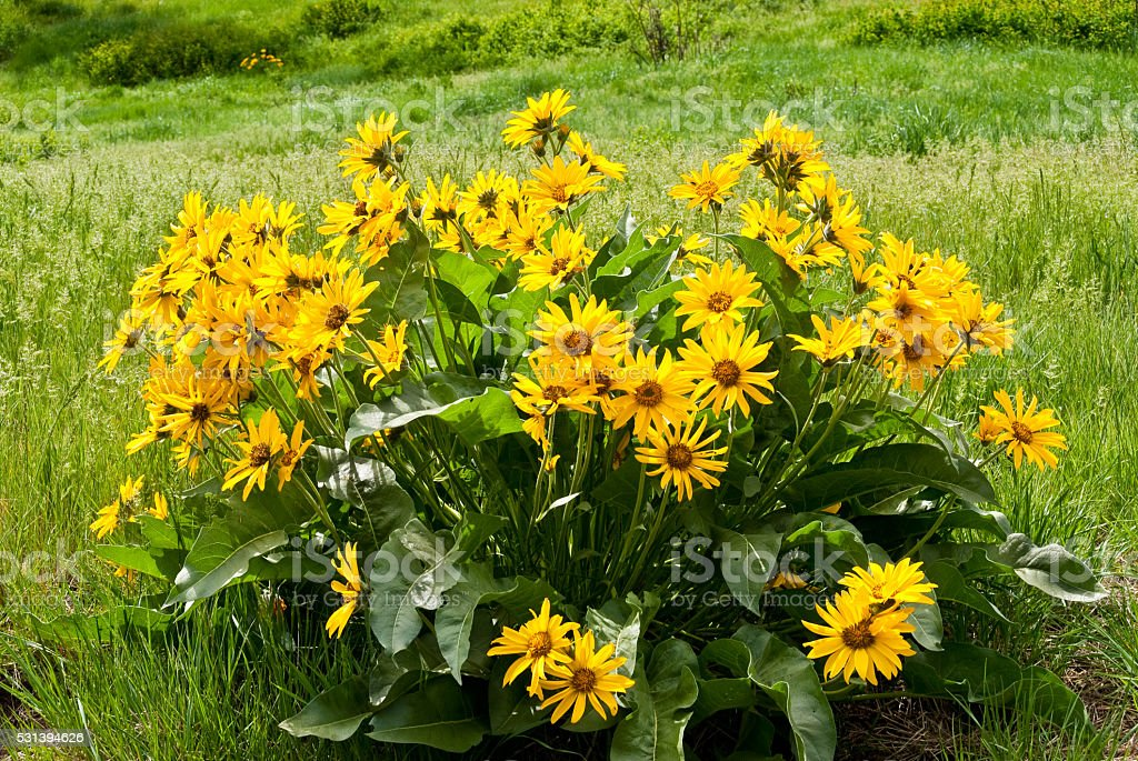 Arrowleaf Balsamroot stock photo