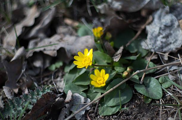 мarsh-ringelblume (phacelia palustris) - aurum stock-fotos und bilder