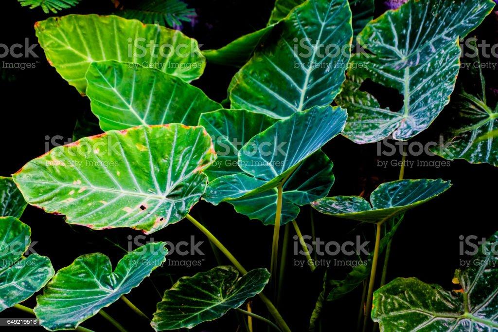 Art of Green Taro Plant background stock photo