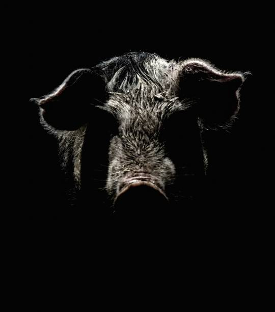 art portrait of a pig. effect of an old black and white film with grain. - cinghiale animale foto e immagini stock