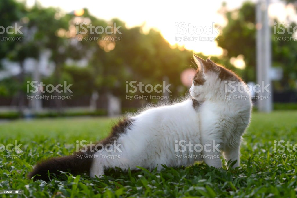 Art style portrait of black-white cat standing and looking back in green garden with sunset soft light background stock photo