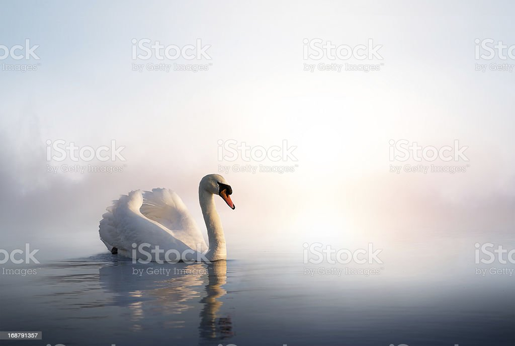 Art Swan on the water at sunrise stock photo