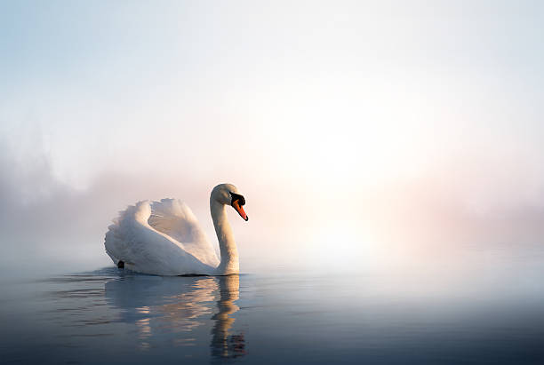 art swan on the water at sunrise - wildplassen stockfoto's en -beelden