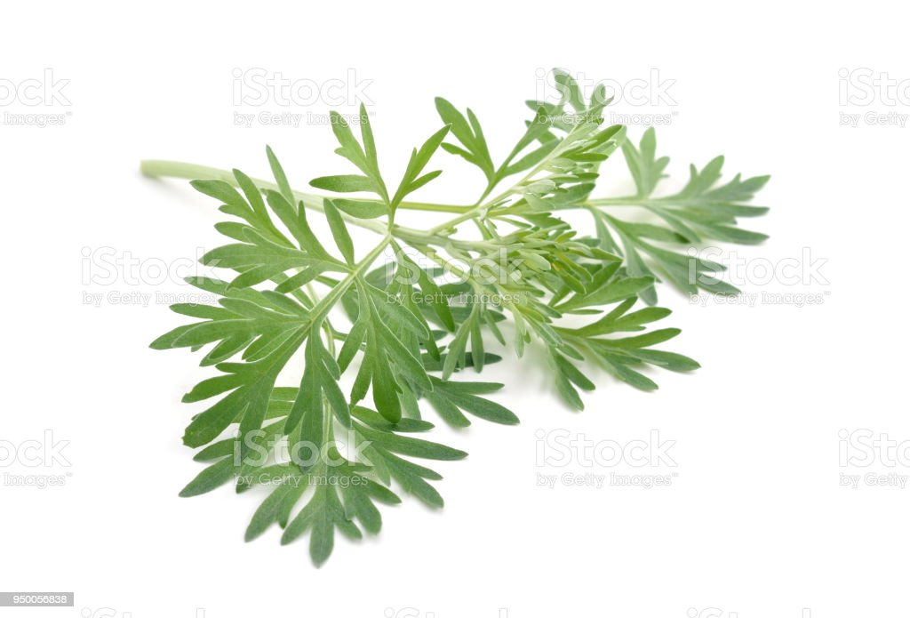 Artemisia absinthium isolated on white background. stock photo