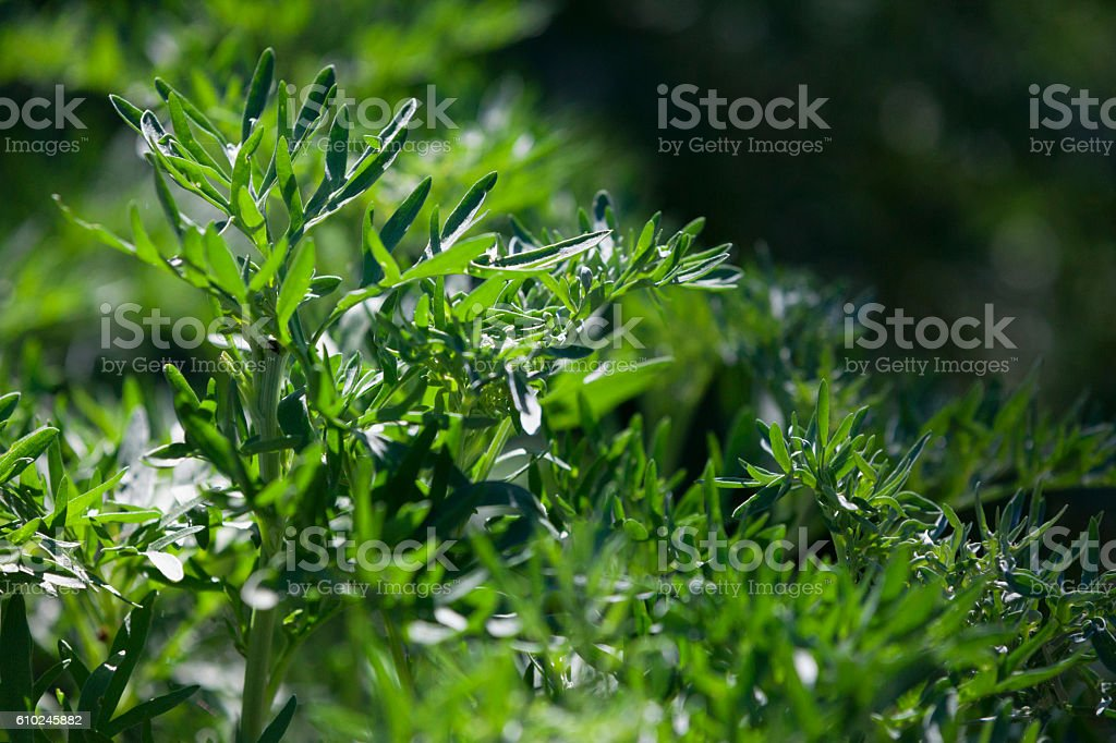 Artemisia absinthium or Absinthe wormwood stock photo