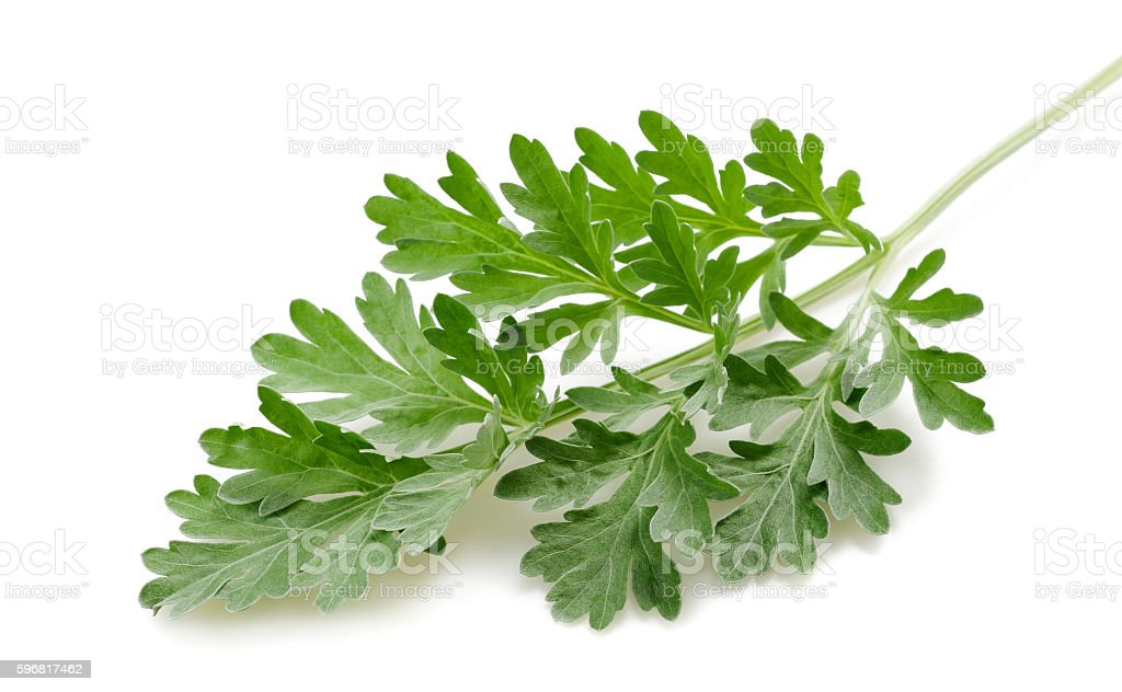 artemisia arborescens stock photo