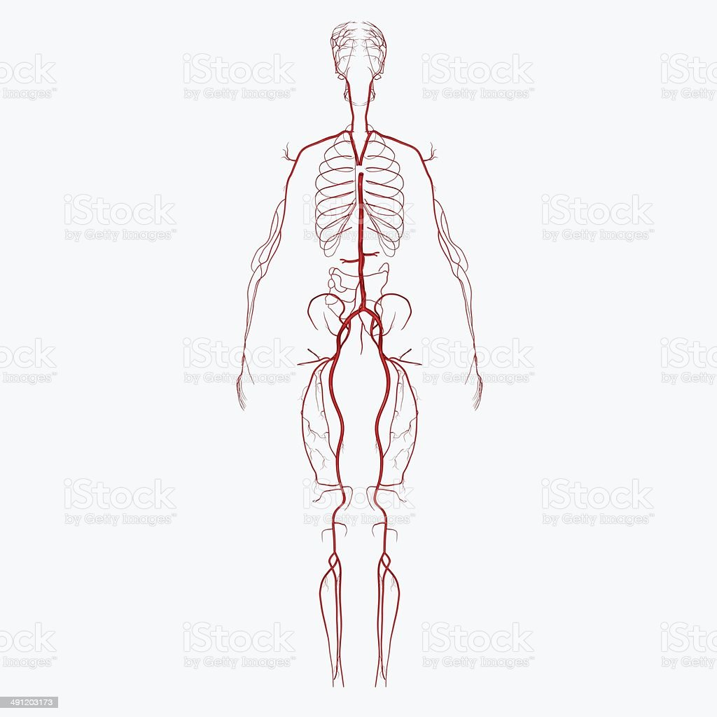 Arteries stock photo
