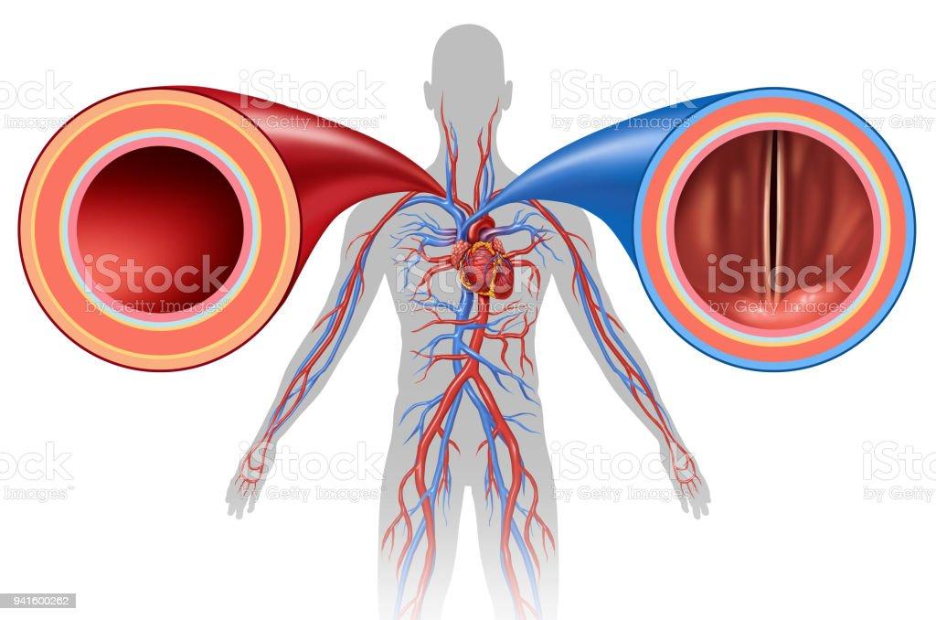 Artery And Vein Human Circulation stock photo