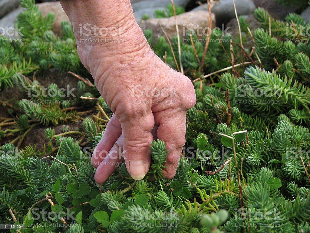 Arthritic hand gardening royalty-free stock photo