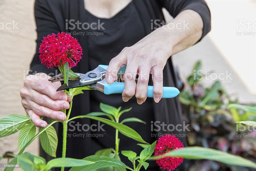 Arthritis Arthritic Seniors hands cutting Flowers stock photo