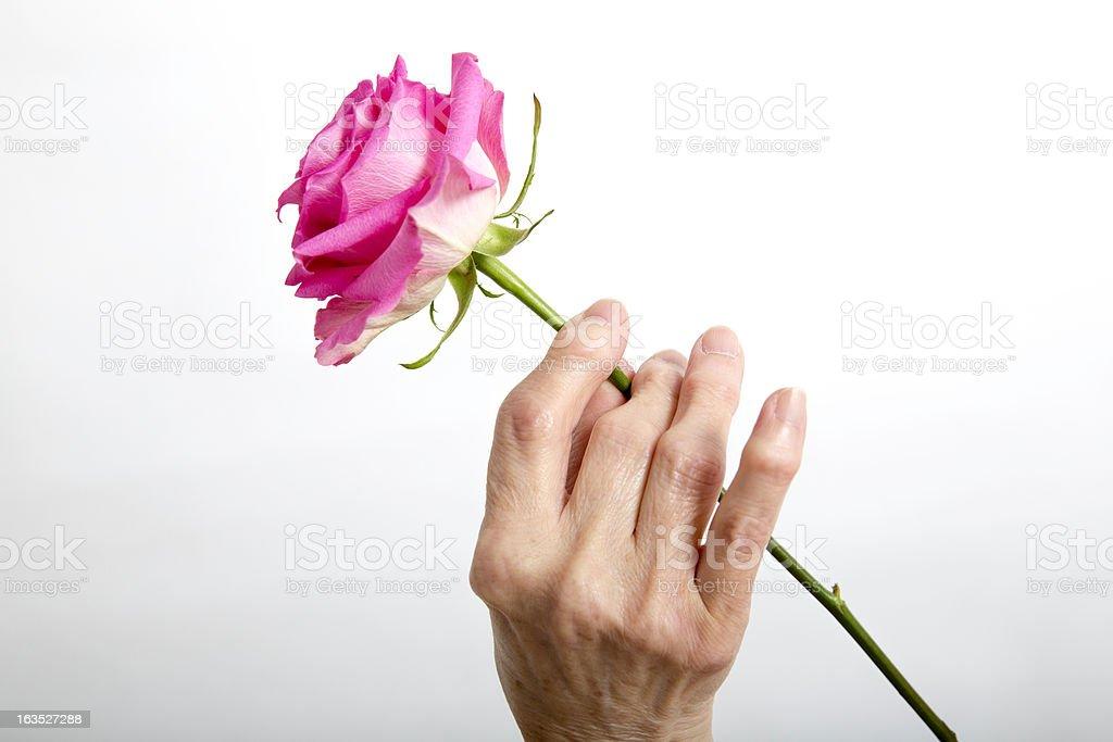 Arthritis:Arthritic Seniors hands holding a rose royalty-free stock photo