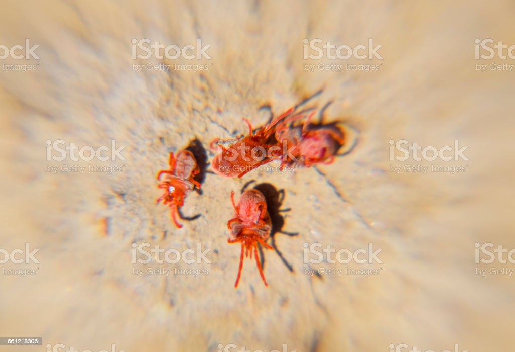 Arthropod mites on the ground. Close up macro Red velvet mite or stock photo