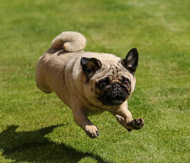 Arthur the Pug Running stock photo