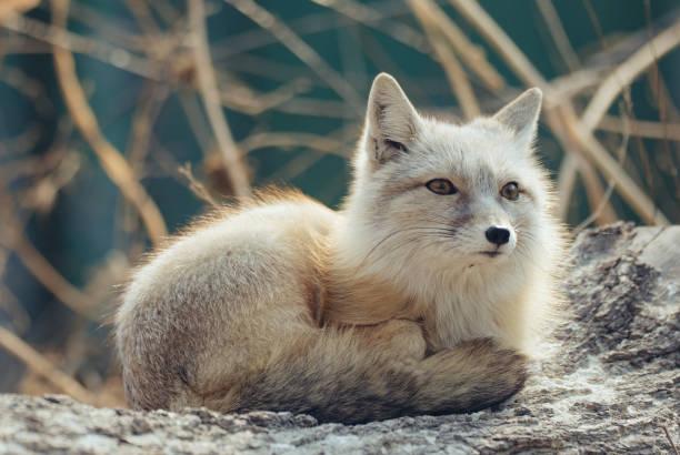 Artic fox posing outdoors stock photo