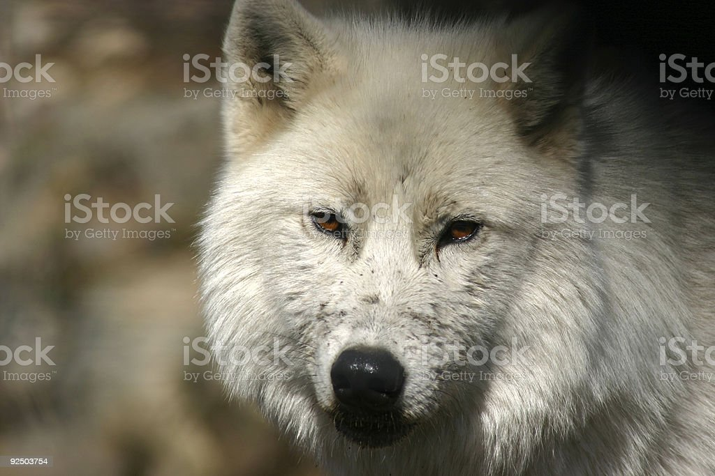 Artic Wolf royalty-free stock photo