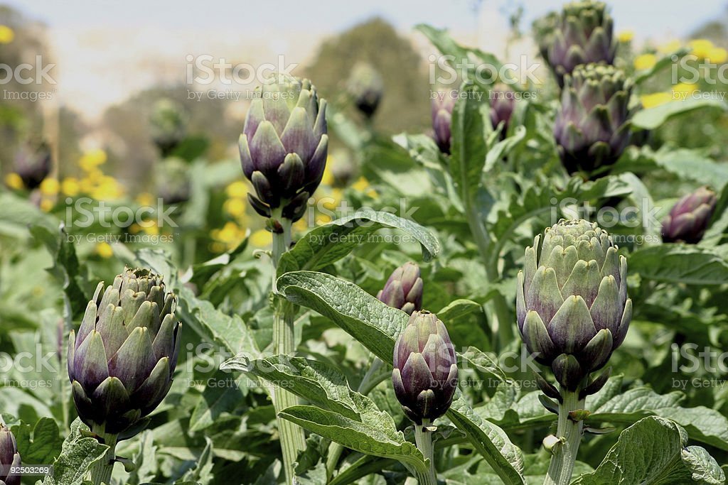 Artichoke Field royalty-free stock photo