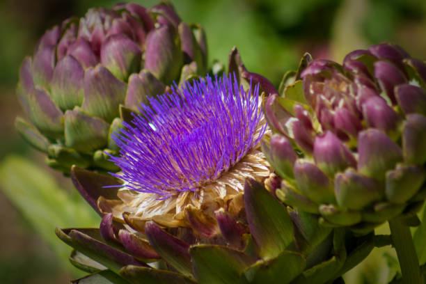 Primer plano de flor de alcachofa - foto de stock