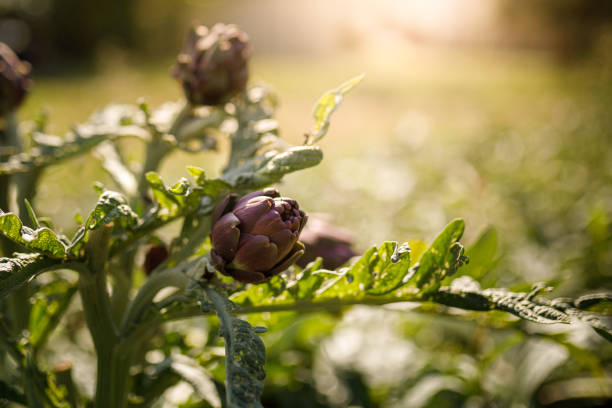 Artichoke hearts in the sunshine stock photo