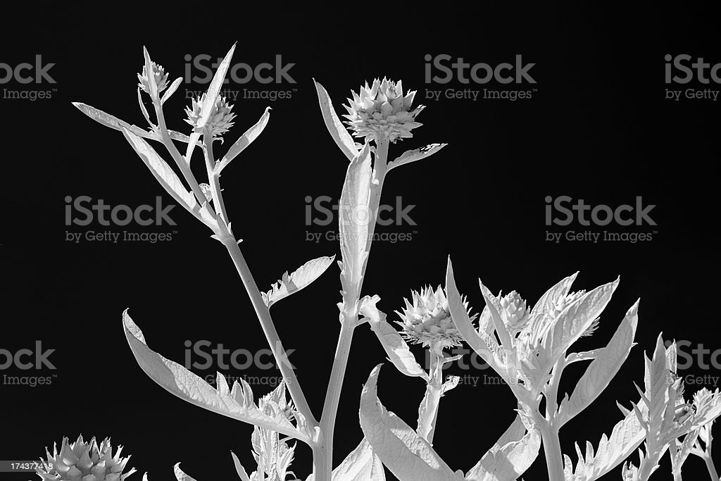 Artichoke In Infrared royalty-free stock photo