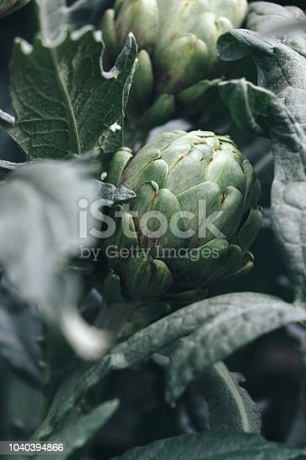 Fresh green artichokes growing in the garden, Cynara cardunculus