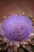 Close up of beautiful purple artichike flower. Very shallow DOF.