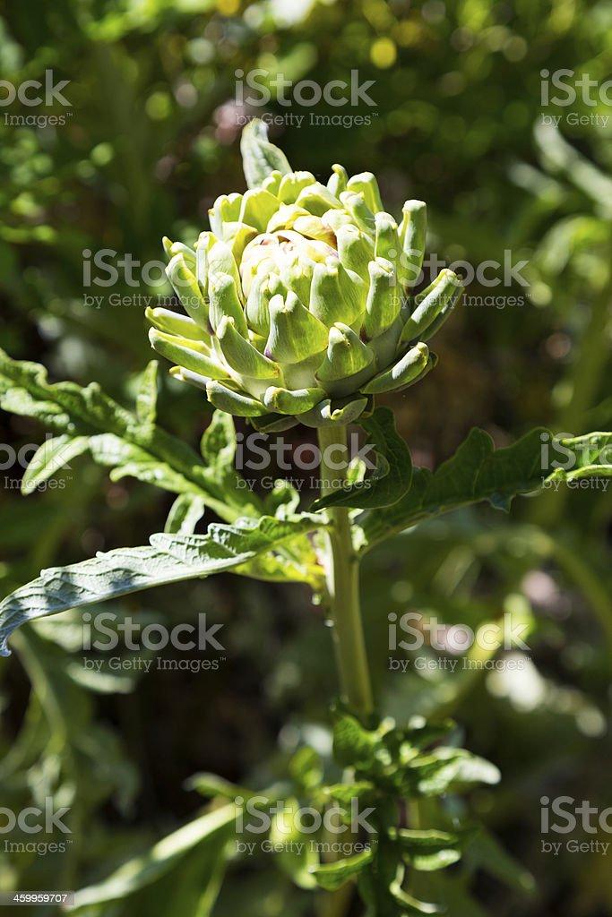 Artichoke Plant Detail stock photo