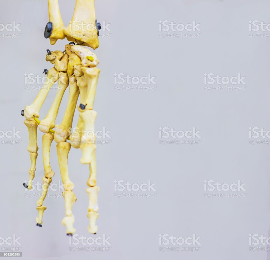 Articulated Carpal Bones Showing Human Hand Anatomy In White