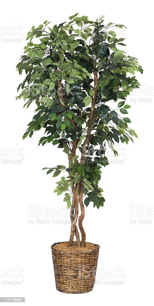 Artificial Ficus Tree - XXL royalty-free stock photo