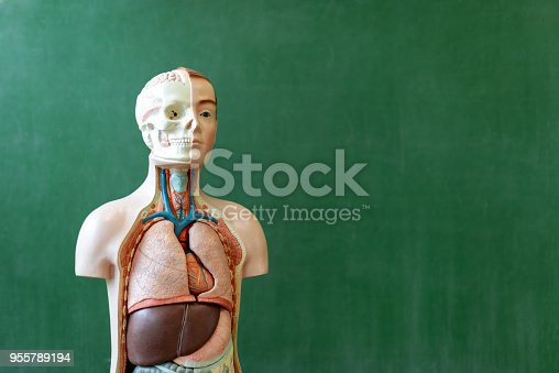 istock Artificial human body model. Biology class. Anatomy teaching aid. Education concept. 955789194