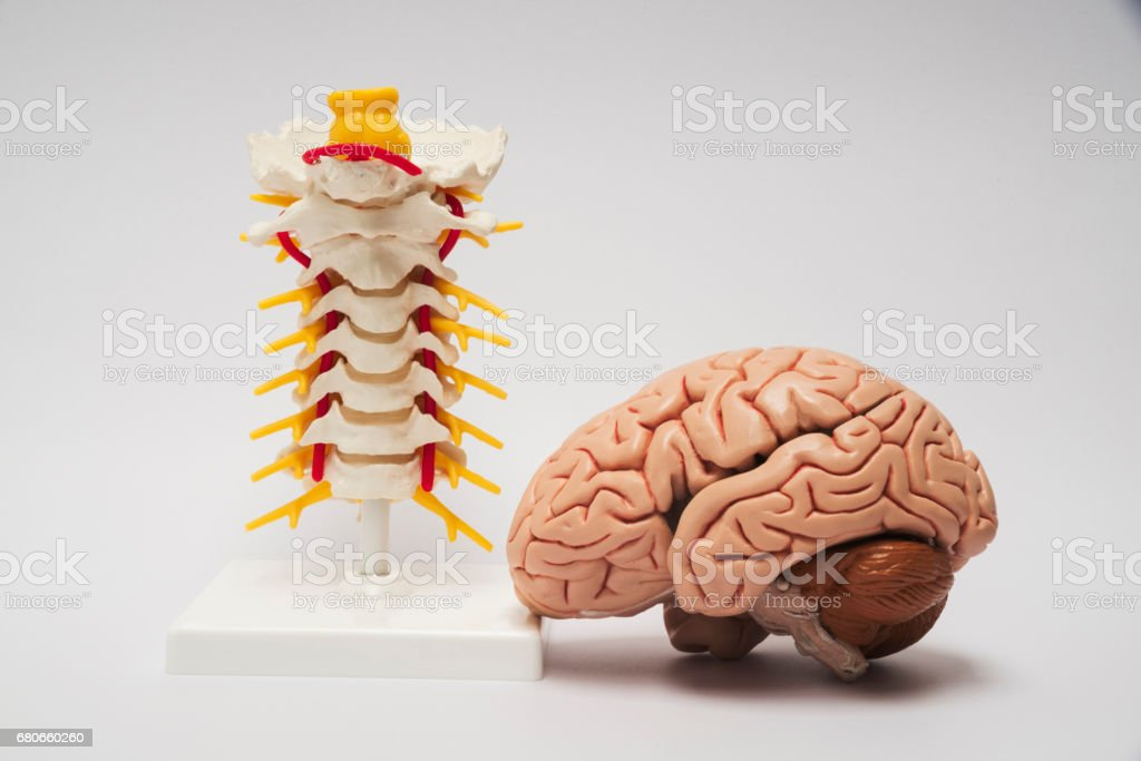 Artificial human brain and spine model stock photo