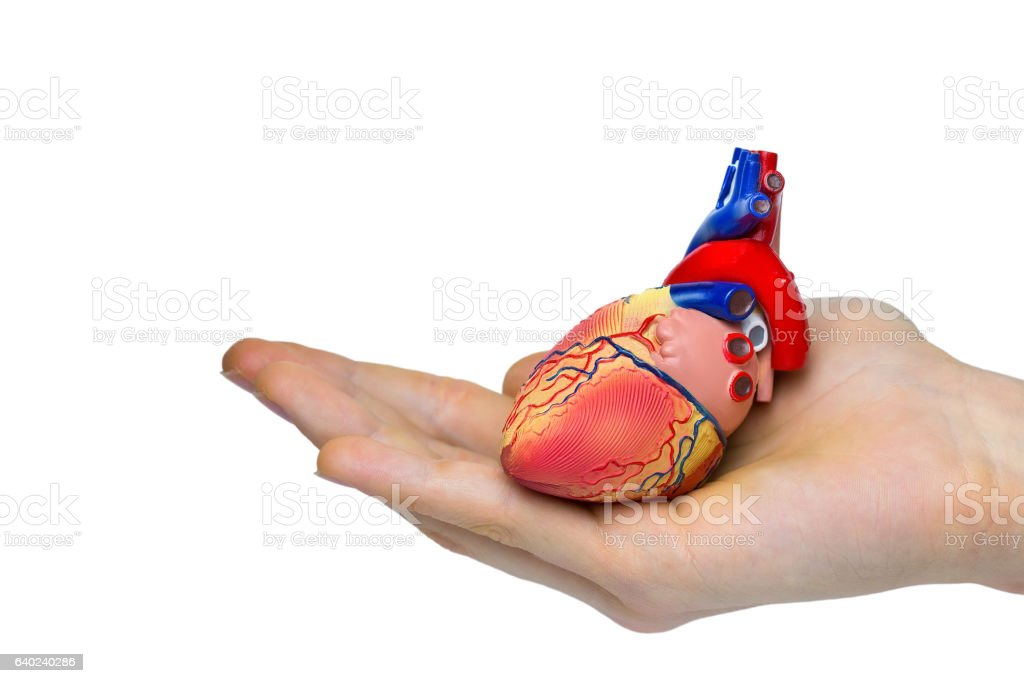 Artificial Human Heart Model On Hand Stock Photo & More