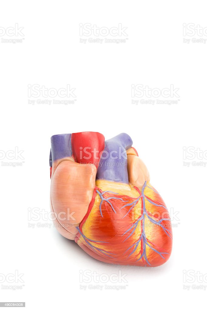 Artificial model of human heart on white stock photo