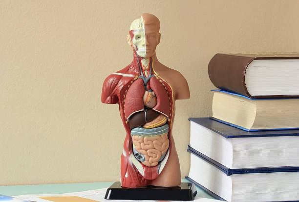 modell des menschlichen körpers. - anatomie buch stock-fotos und bilder