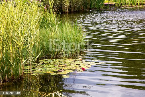 artificial pond with water and aquatic plants with reeds and water lilies.