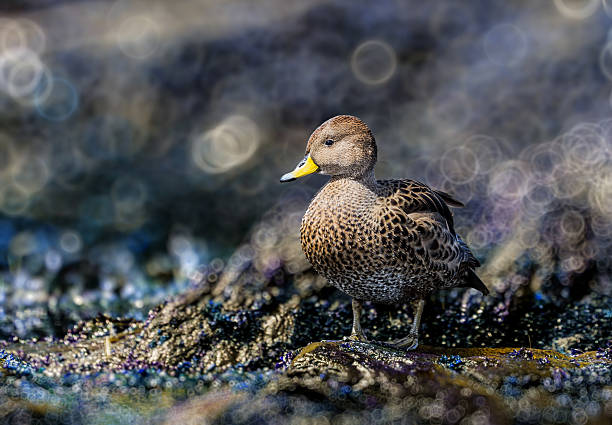 Artistic background surrounds yellow-billed pintail duck in South Georgia stock photo