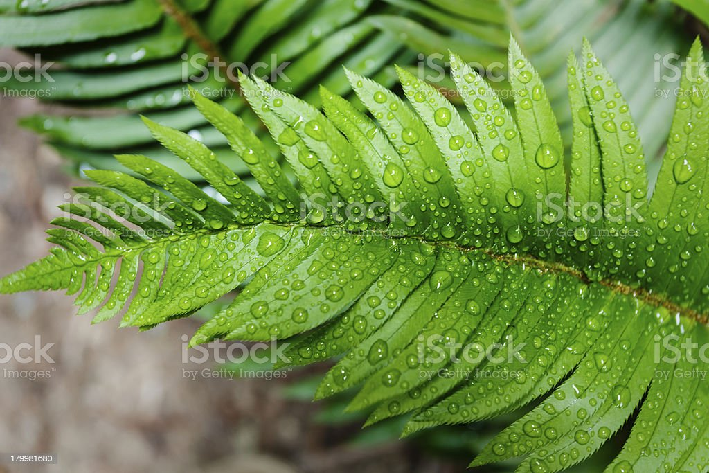 Artistic close-up of bright green fern leaf with water droplets royalty-free stock photo