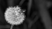 Artistic close-up of fluffy overblown dandelion head. Taraxacum officinale