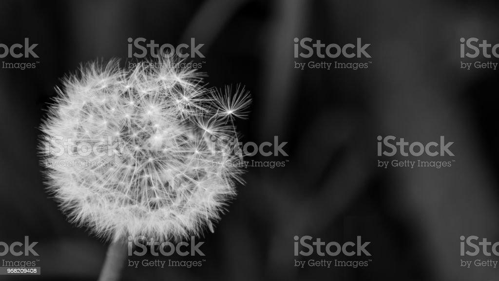 Artistic close-up of fluffy overblown dandelion head. Taraxacum officinale stock photo