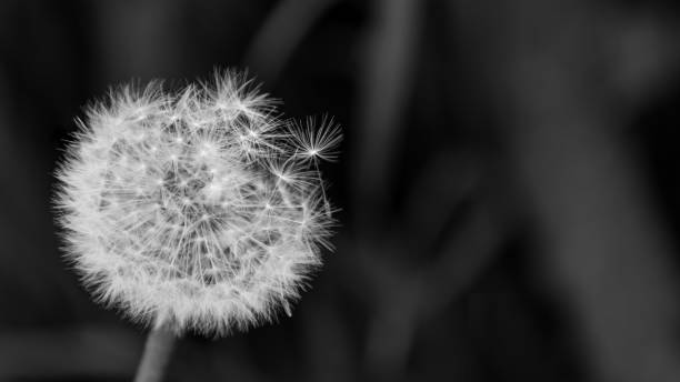 artistic close-up of fluffy overblown dandelion head. taraxacum officinale - grief stock photos and pictures