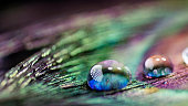 Artistic composition of Water drops on peacock feather